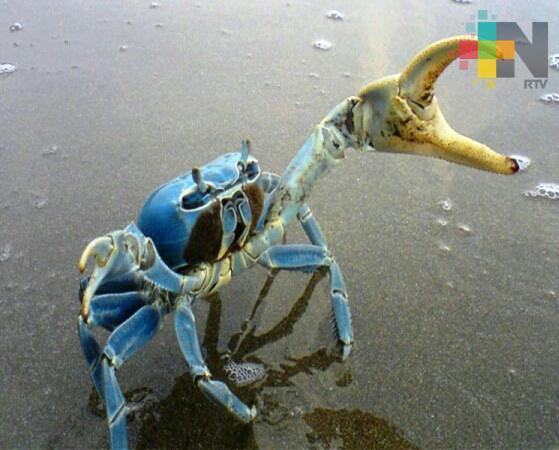 Hasta septiembre concluiría veda del cangrejo azul