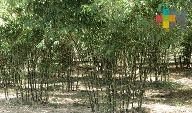 México con potencial para cultivo de bambú a gran escala