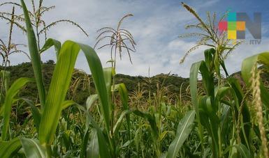 Tras canículas, 5 mil hectáreas de maíz resultaron dañadas en zona centro del estado