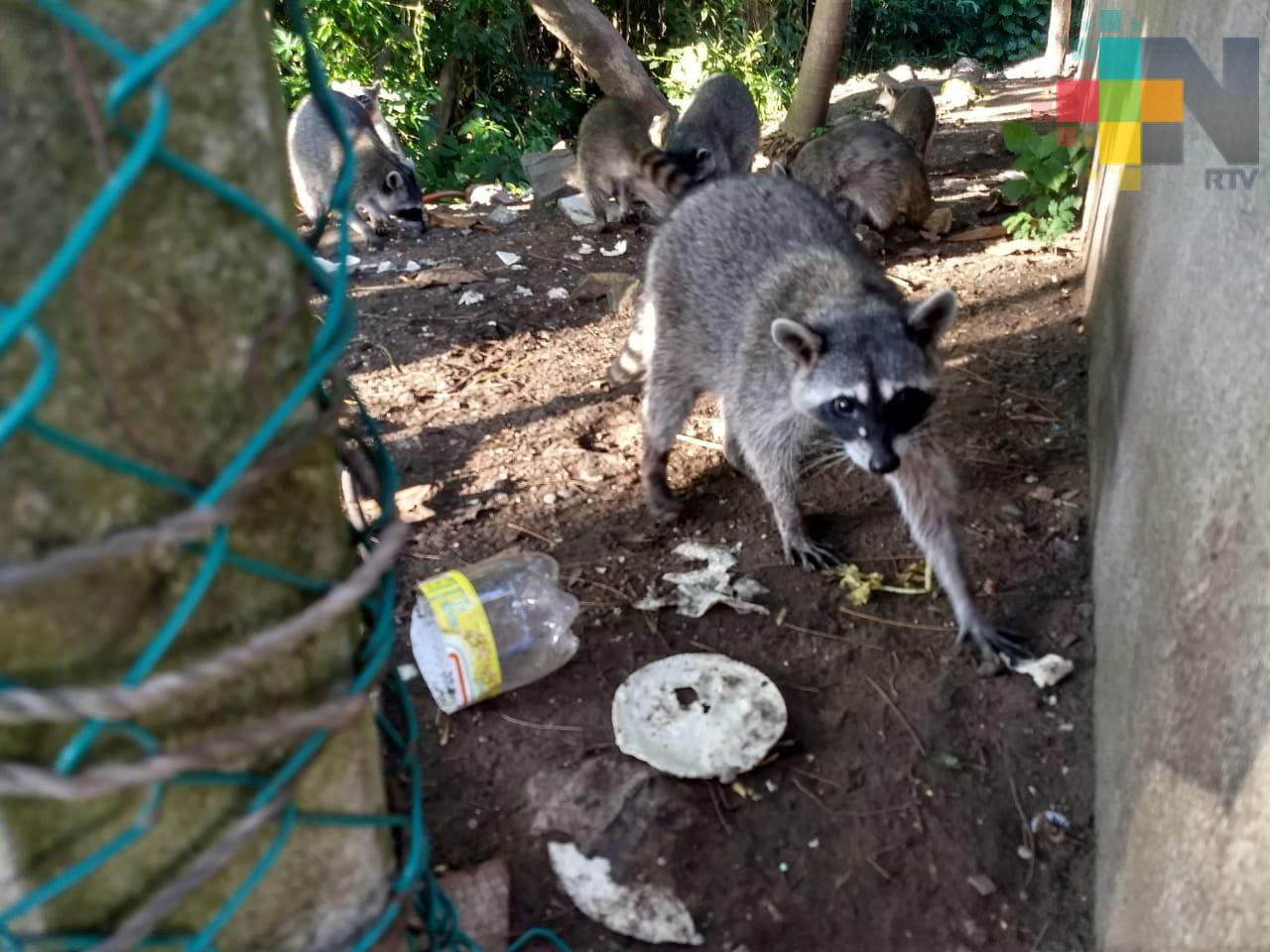 Reubicarán a mapaches del Bosque de Casuarinas a una UMA