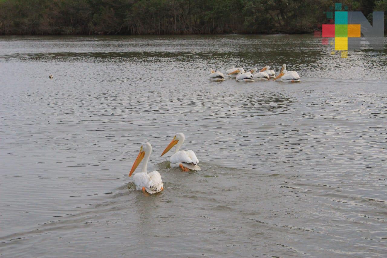 Liberan en laguna de Mandinga a pelícanos rescatados en Zongolica
