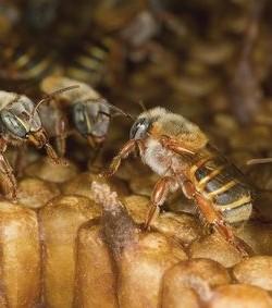 Sin abejas no hay futuro