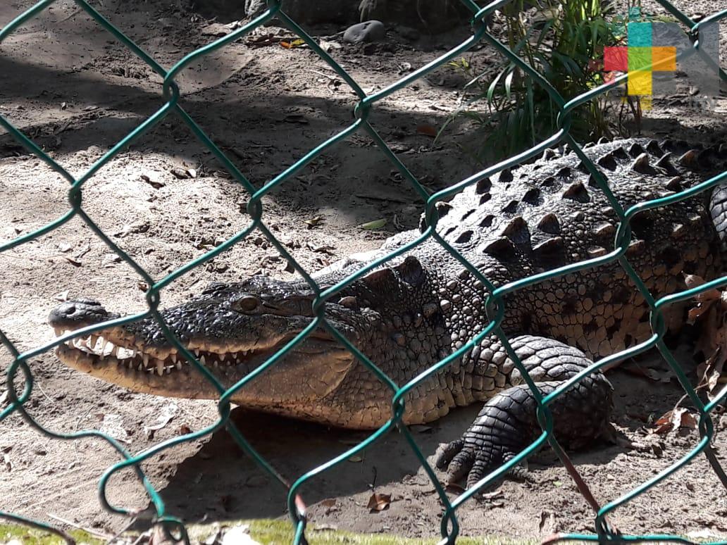 Investigadores de la UNAM estudian a cocodrilos del zoológico Miguel Ángel de Quevedo de Veracruz
