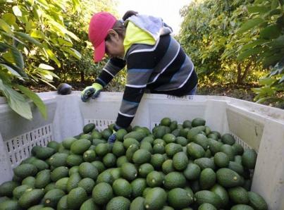Previo al Súper Tazón, Michoacán exporta 32 mil toneladas de aguacate