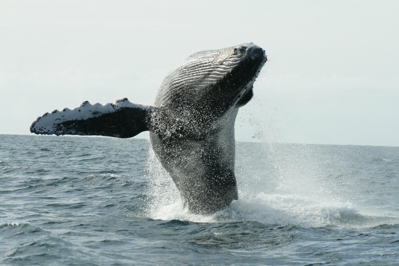 Continúa arribo de la ballena jorobada a costas de Baja California Sur
