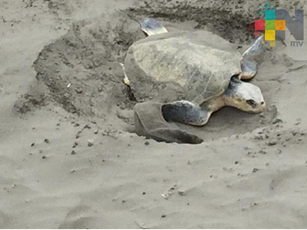 Tortuga desova en playa Gaviotas del municipio de Boca del Río