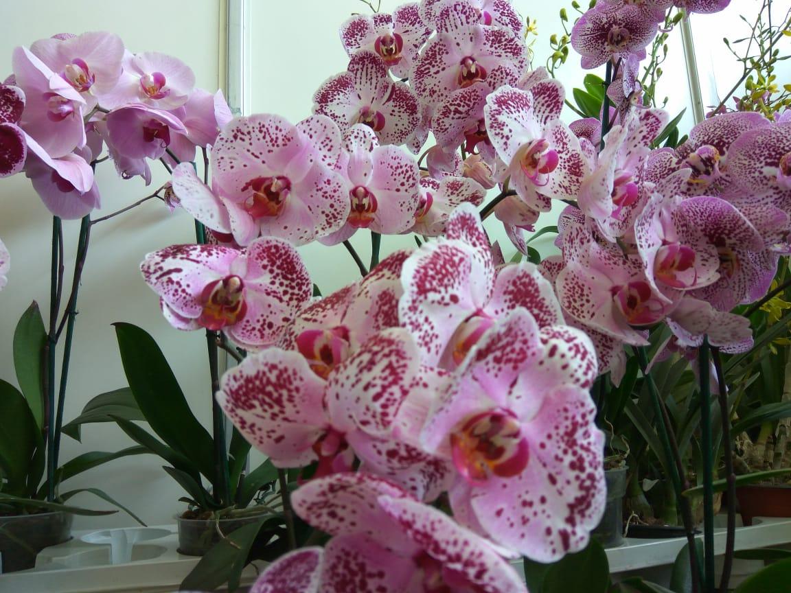Continúa la Feria Internacional de la Orquídea en el Pueblo Mágico de Coatepec