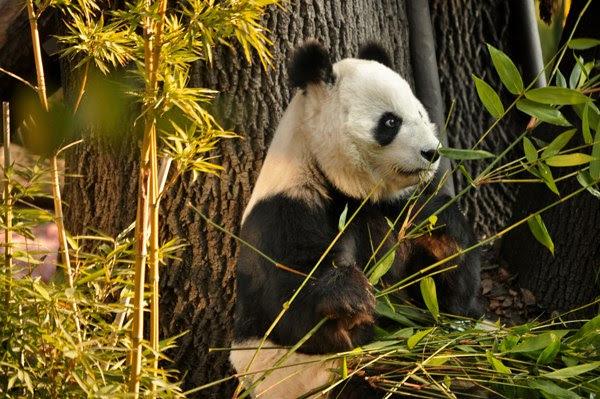 Sedema convoca a concurso para festejar a pandas gigantes de Chapultepec