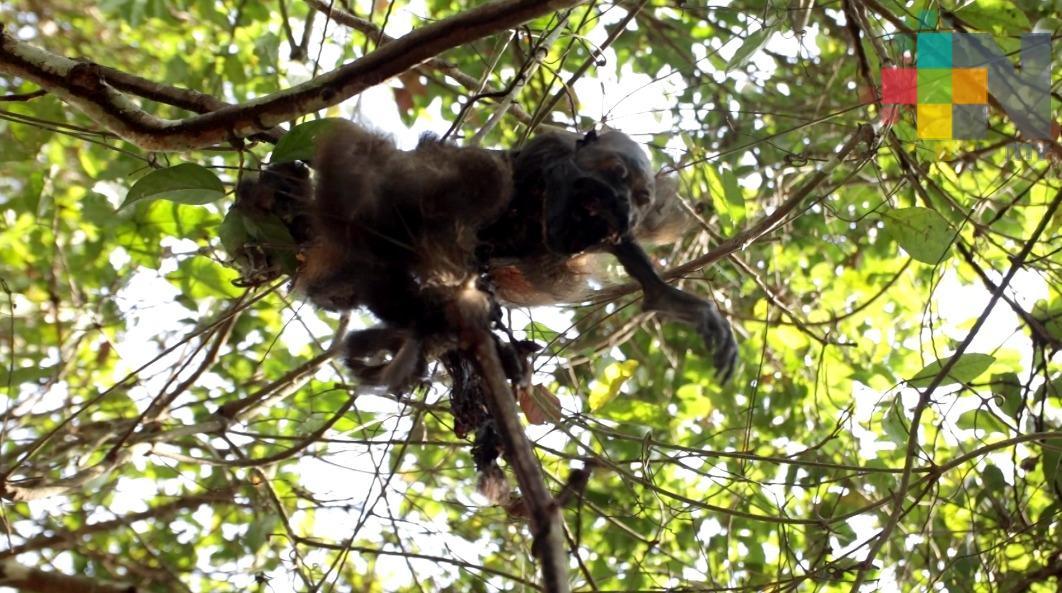 Mueren monos en Minatitlán por altas temperaturas