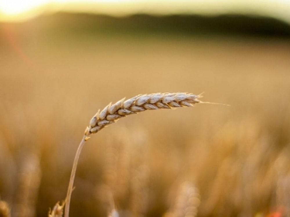 Científicos chinos completan secuenciación de genoma de trigo