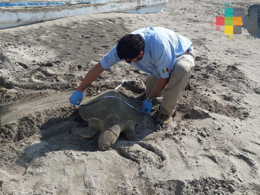 Encuentran tortuga muerta en playa Martí del puerto de Veracruz
