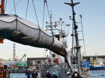 Comienza la caza de ballenas frente a la costa norte de Japón