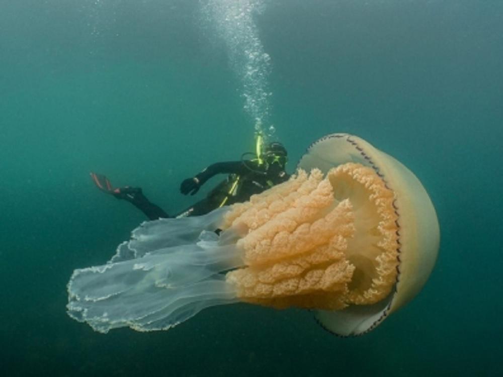 Bióloga comparte imágenes de medusa gigante