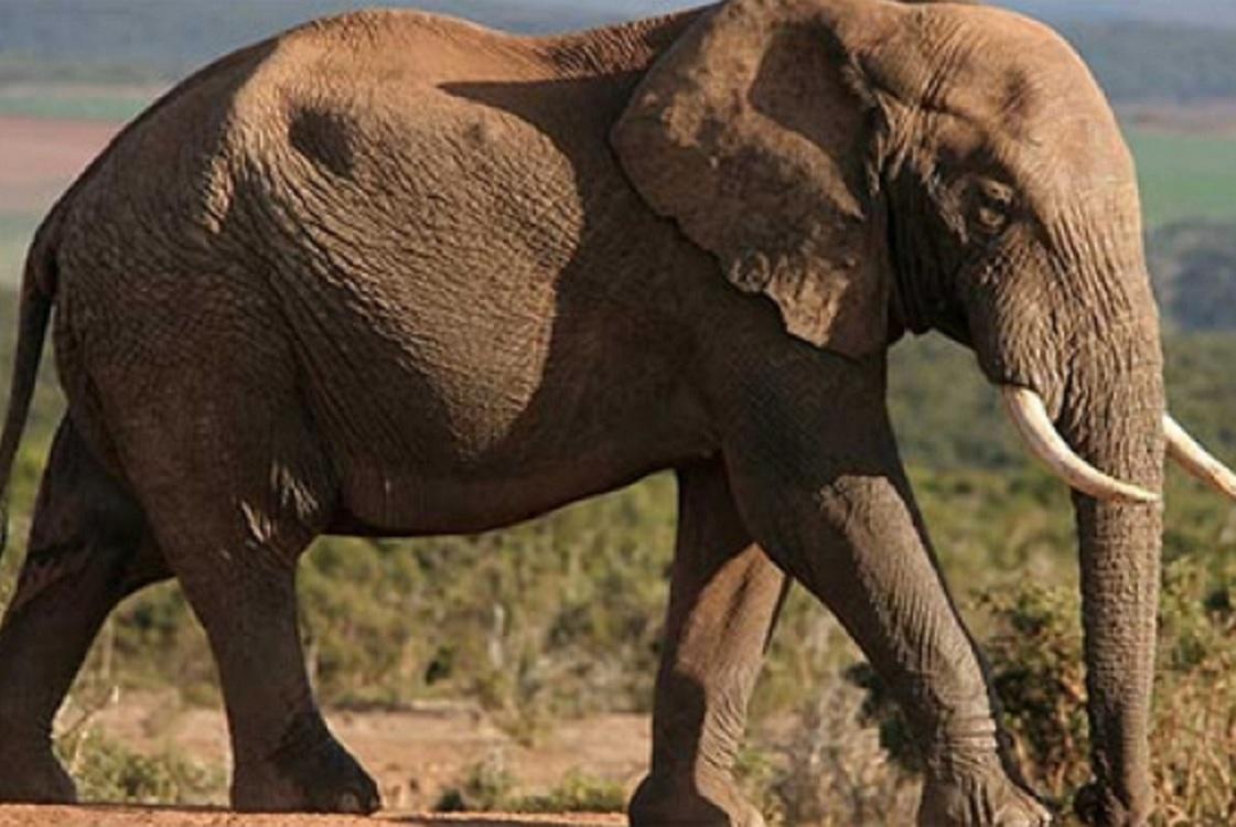 Elefantes africanos de bosque son aliados contra el cambio climático