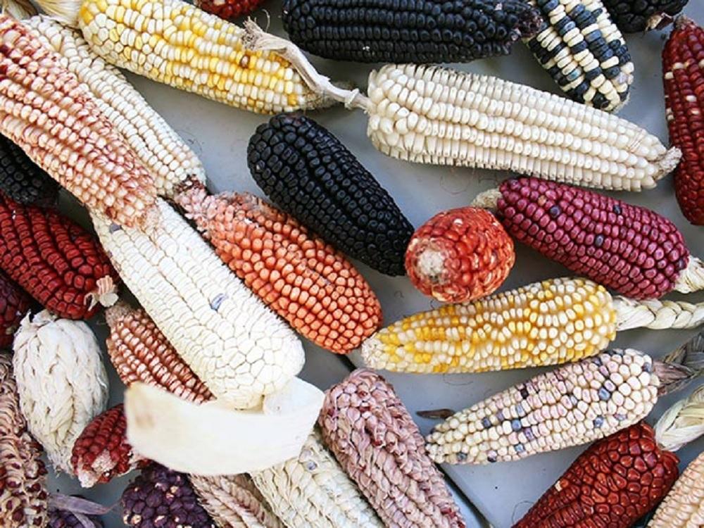 En riesgo, cultivo de maíz en México