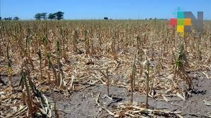 Empiezan a llegar apoyos a ganaderos y agricultores por afectaciones de sequías: Liga de Comunidades Agrarias