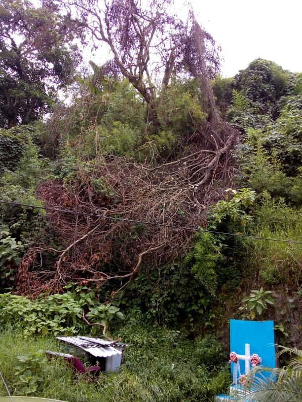 Reportan árbol caído en  Coatepec, piden se retire