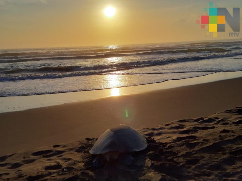 Hombre, el mayor depredador de tortugas marinas: Fundación Tortugas Yépez
