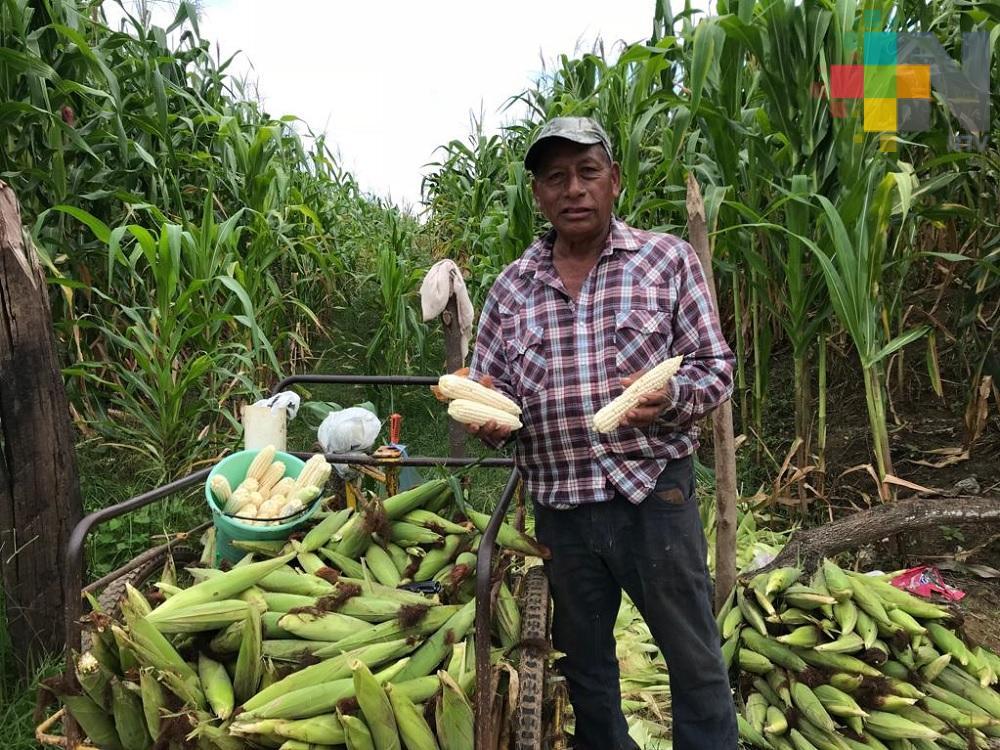 Productores de maíz de la Cuenca del Papaloapan piden apoyos para tener mejores cosechas