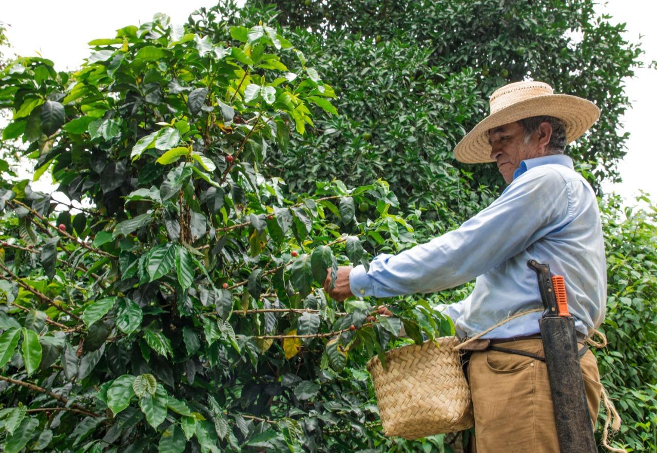 Producción del café disminuirá hasta un 70% por efectos del cambio climático: Investigador