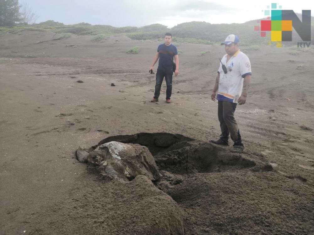 Saquean nidos de tortuga marinas en playas del norte de Veracruz