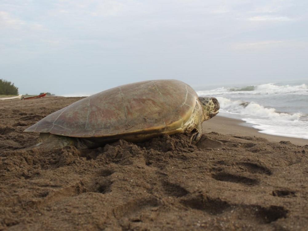 Resguardaron Sedema y SSP 32 mil huevos de tortugas marinas