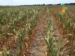 Estiaje y cambio climático han perjudicado la agricultura y ganadería veracruzana