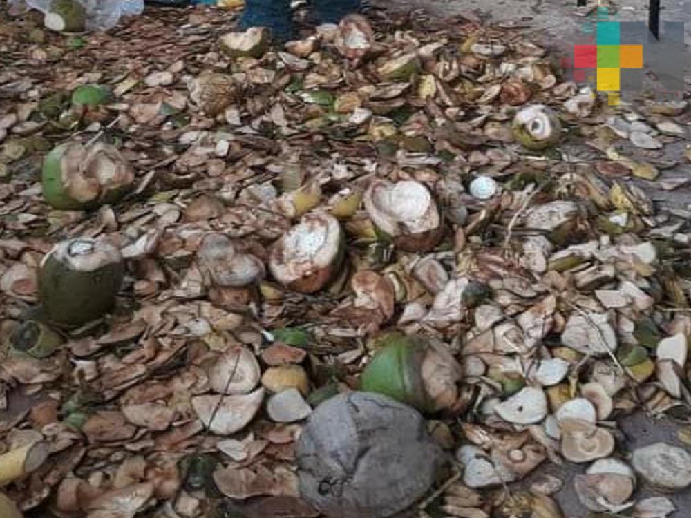 Altas temperaturas continúan afectando a productores de coco del sur de Veracruz