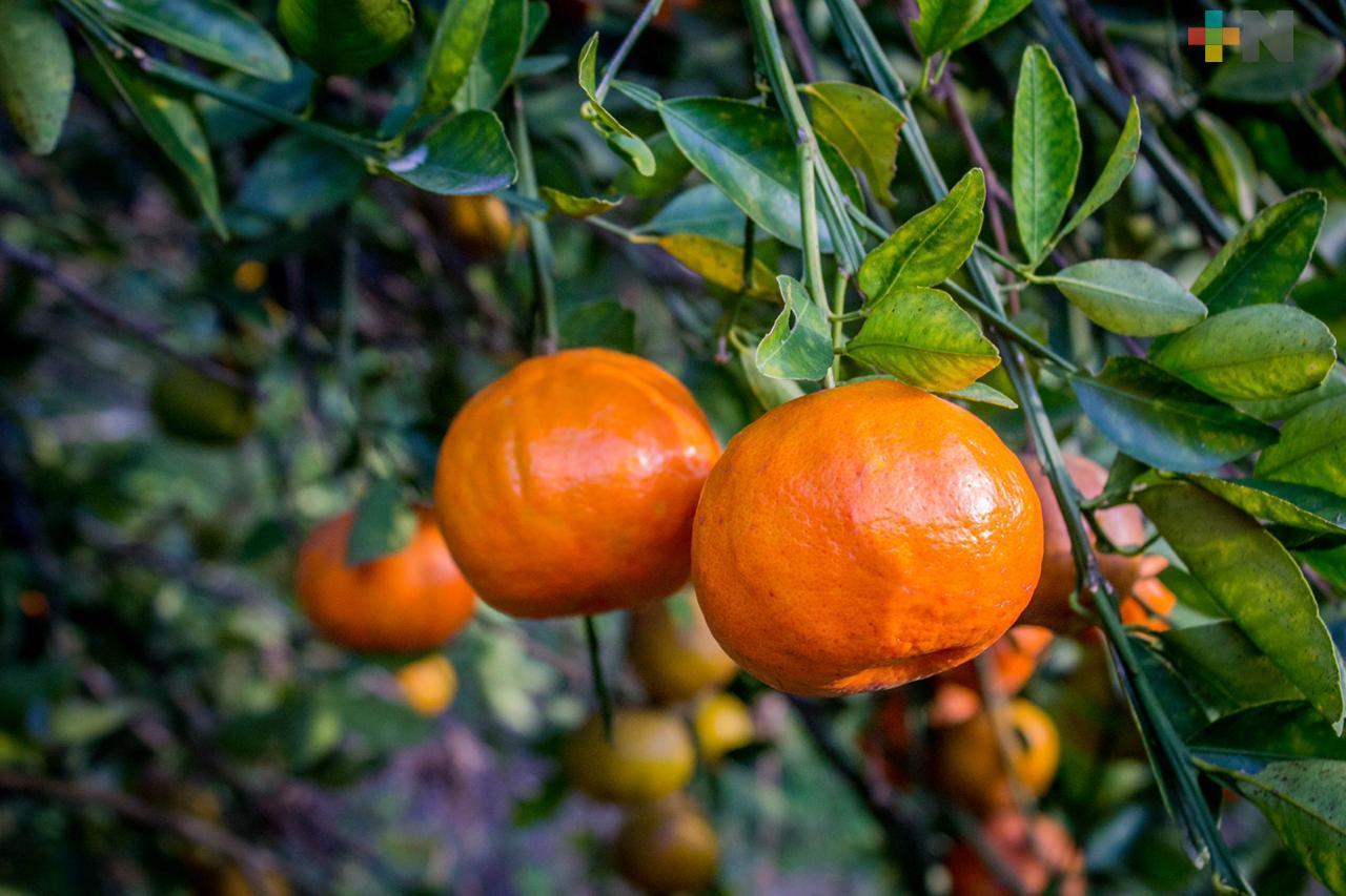 Mandarina, el cítrico más afectado por la sequía en  Veracruz: Sedarpa