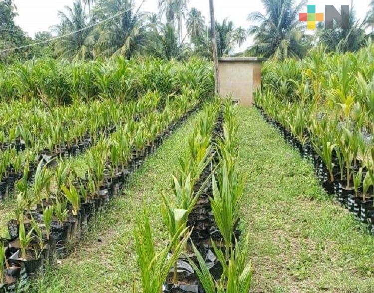 Sembrarán mil 500 plantas de coco en ejido de Coatzacoalcos