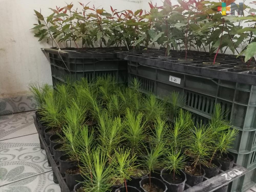 Mil 500 hectáreas veracruzanas fueron beneficiadas por programa de plantaciones forestales comerciales