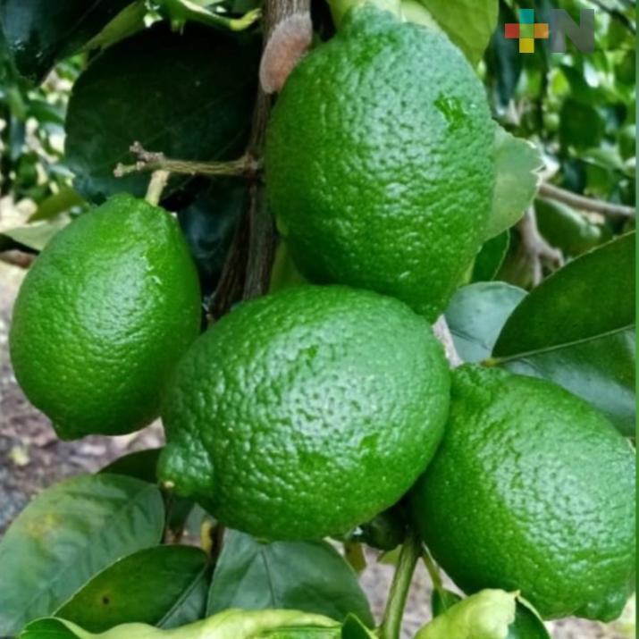 Mejora precio del limón en la zona norte
