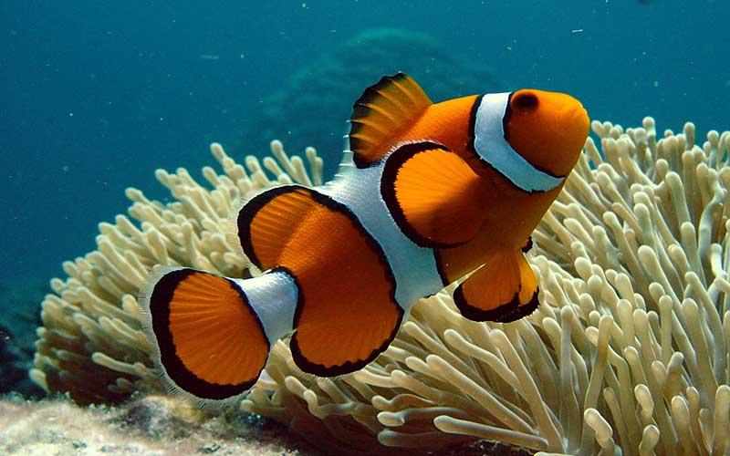 Pez payaso en lista de especies amenazadas por cambio climático