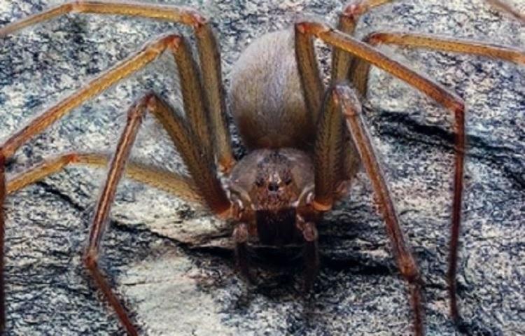 Alumnos de la UNAM hallan nueva especie de araña violinista