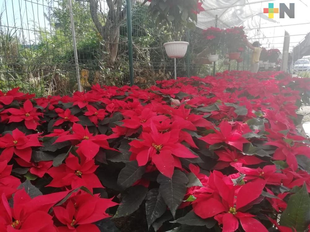 Llegan a Coatzacoalcos comerciantes de flor de Nochebuena