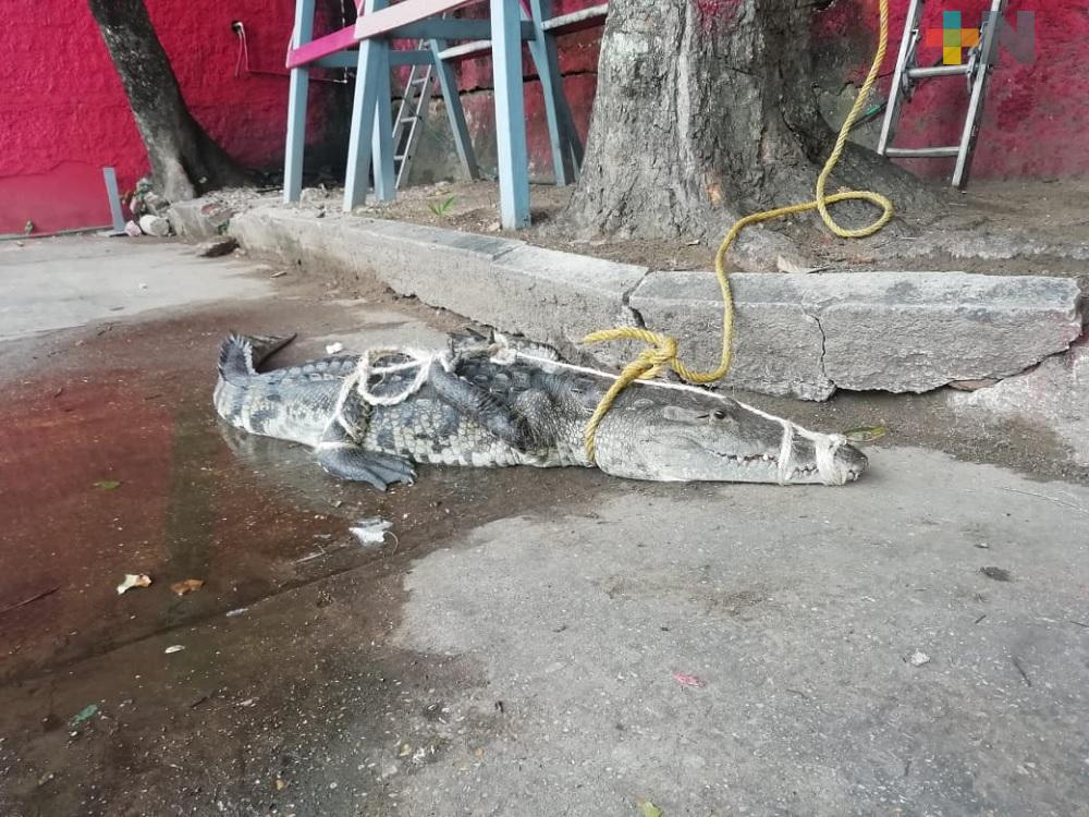 PC Coatzacoalcos captura a cocodrilo de casi dos metros