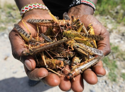 Urgen ayuda internacional por invasión de langostas en África