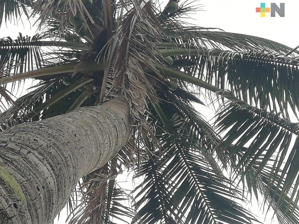 Necesario incluir plantación de coco en Sembrando Vida: productor