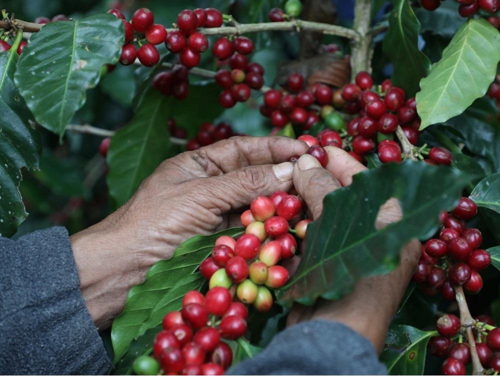 Café veracruzano debe retornar a los primeros planos a nivel nacional e internacional