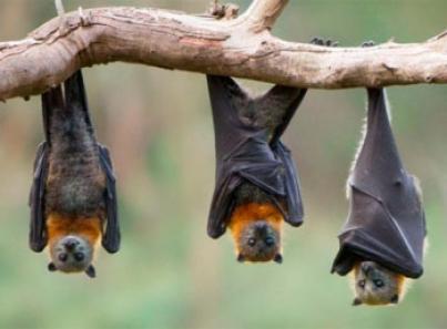 SARS-CoV-2 ha evolucionado en los murciélagos desde hace 70 años