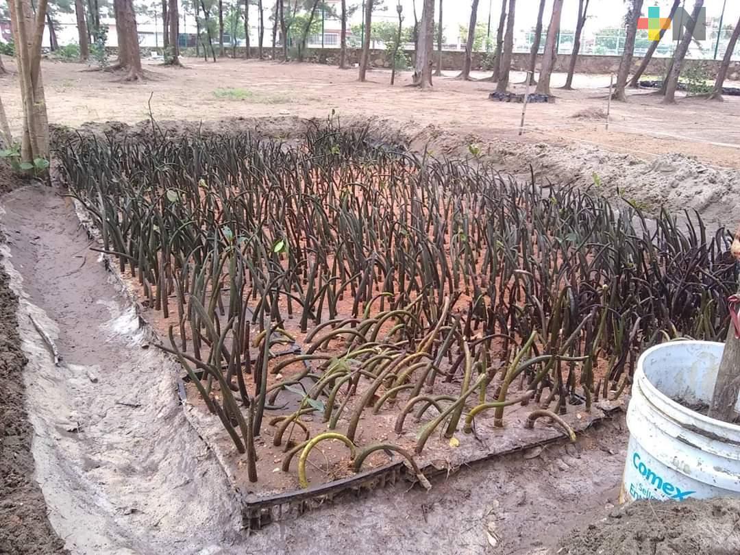 Usarán mangle para proteger playas de Coatzacoalcos