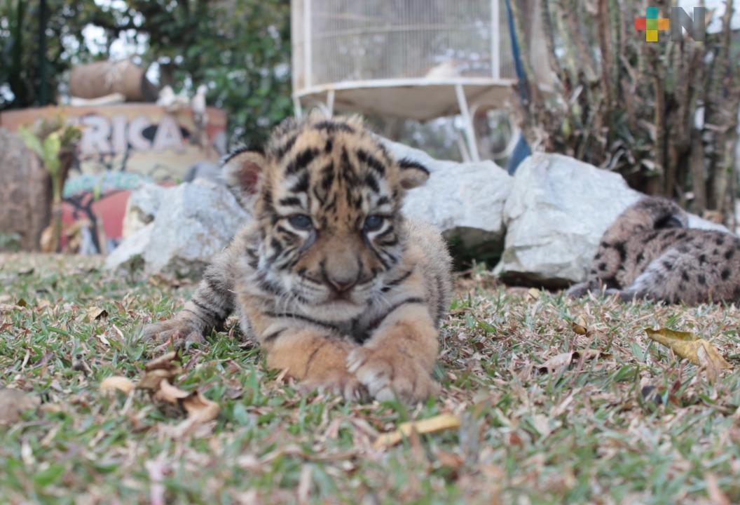 Nombran Covid a tigre de bengala que nació en zoológico de Córdoba