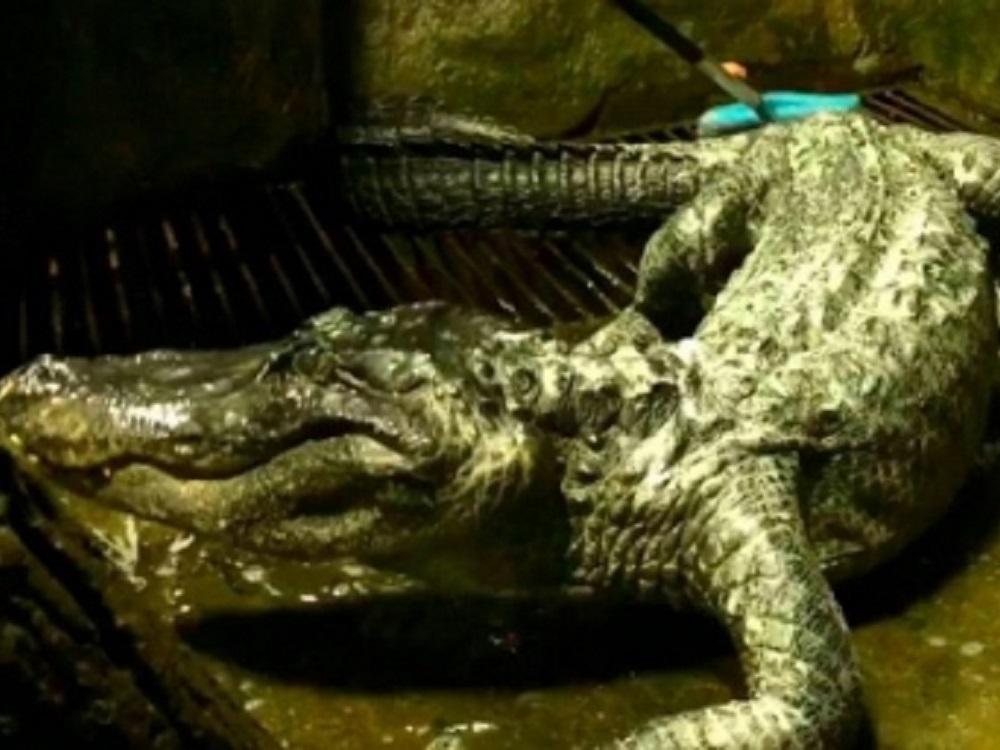 Muere cocodrilo de 84 años en Moscú; se rumoraba era mascota de Hitler
