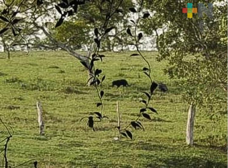 Reportan presencia de jaguares negros en municipio de Oteapan