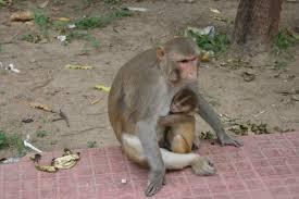 Captan a simios en India robando pruebas de COVID-19