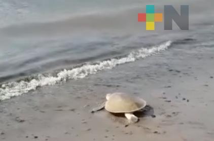 Por cierre de Parque Arrecifal Veracruzano se cancelaron campamentos y patrullajes para rescate de nidos de tortugas