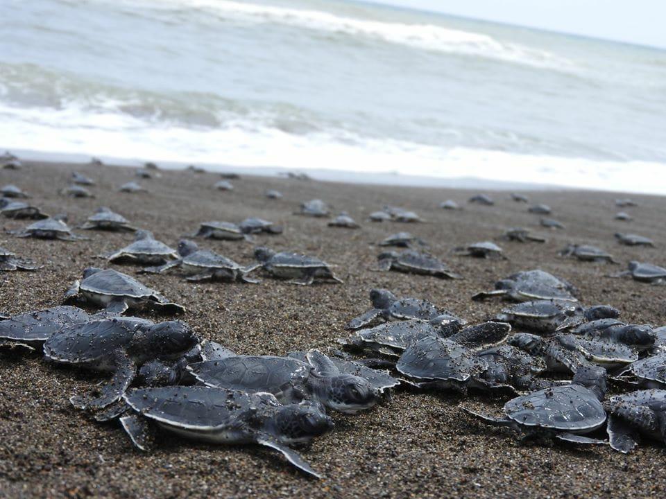 Se prevé proteger a cerca de 40 mil crías de tortuga en Costa Esmeralda