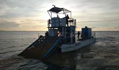 Desde mayo se han recolectado 803 toneladas de sargazo en Quintana Roo: Semar