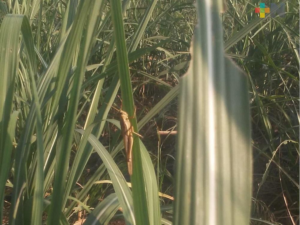 Comisión de Sanidad Vegetal del Estado supervisa parcelas sin encontrar presencia de langosta centroamericana