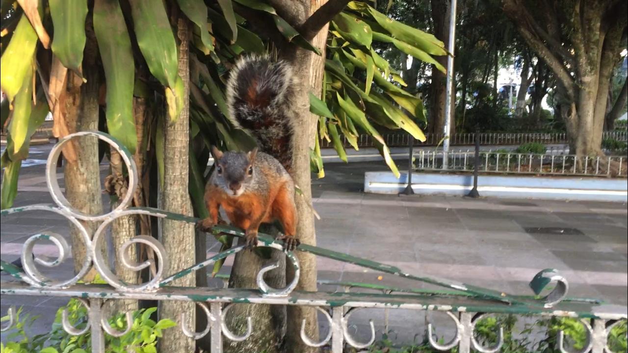 Coatepec y sus ardillas en el parque Miguel Hidalgo